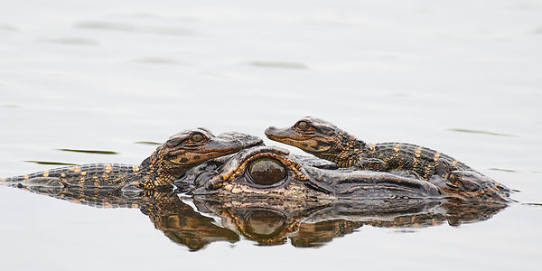 Alligator-Family-255_6630-Full