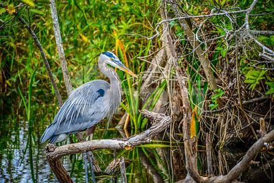A Great Blue Heron in Miami, Florida