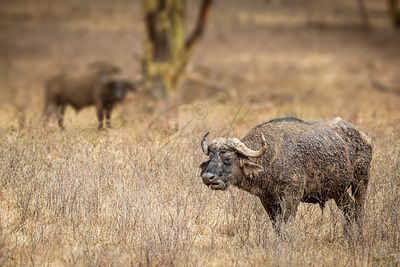 Cape Buffalos in Kenya Africa