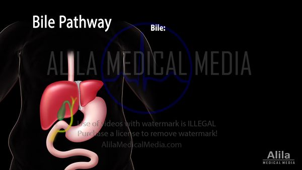 Bile pathways and the enterohepatic circulation NARRATED animation