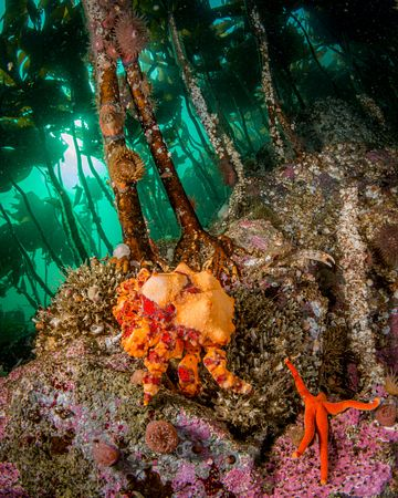 Young Puget Sound King Crab, Lopholithodes mandtii, at base of a kelp stalk. The distincted orange and crimson markings are t...
