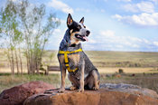 Blue Heeler Full Body Outdoors on Rocks with Vista and Blue Sky