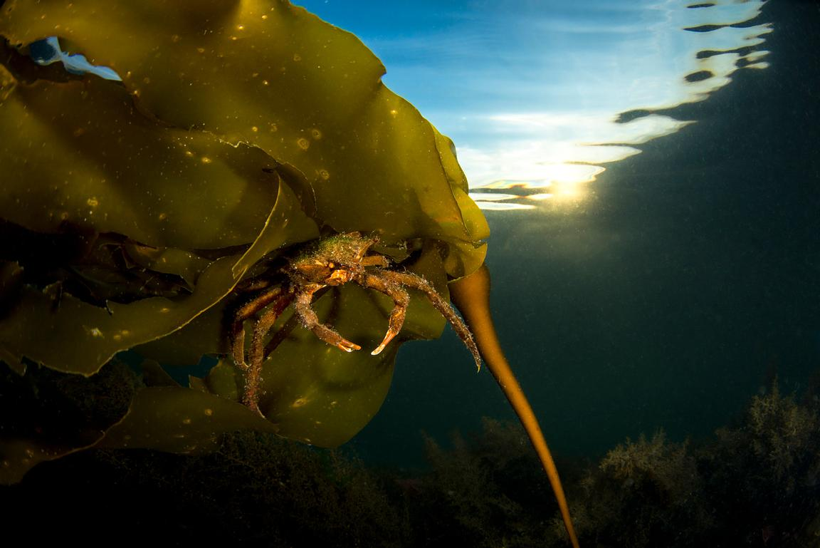 Northern Kelp Crab, Pugettia producta, on Bull Kelp