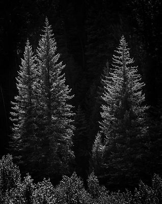 Backlit Pines