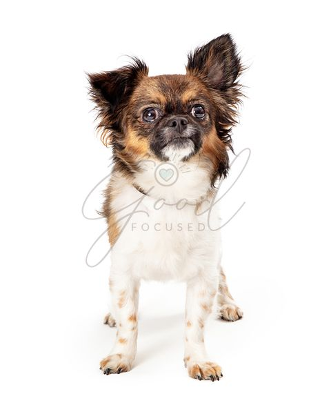 Cute small Papillon dog standing looking up