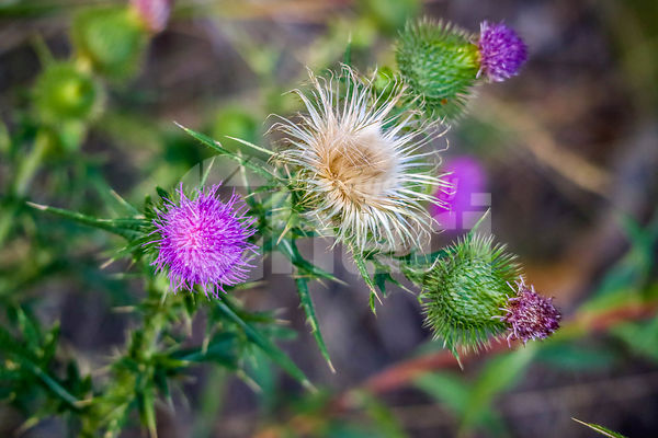A Spear Thistle plant in Yellowstone National Park, Wyoming