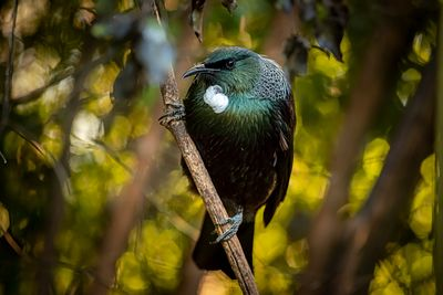Tui, Prosthemadera novaeseelandiae. A striking song bird that is iconic in the New Zealand bush