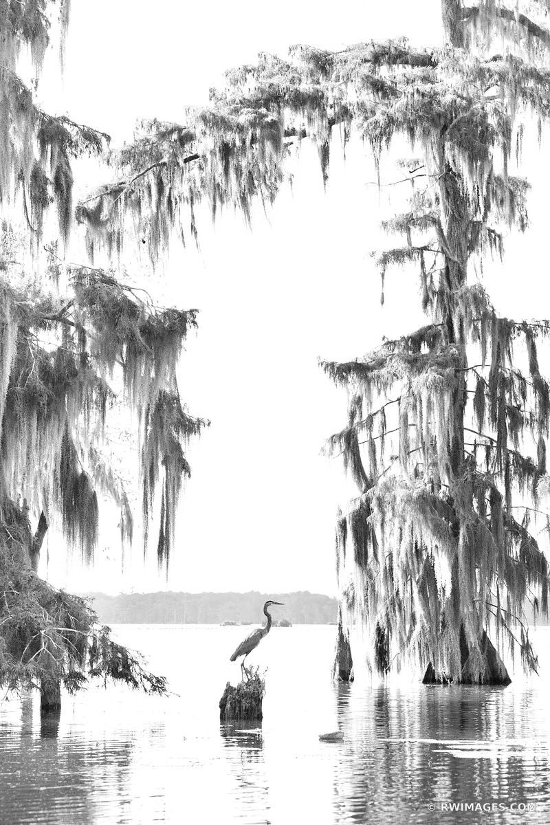 BALD CYPRESS TREES HERON LAKE MARTIN LOUISIANA SWAMP BLACK AND WHITE