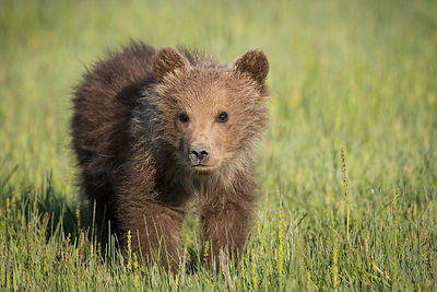 Little Grizzly I
