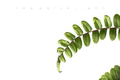 button fern on white