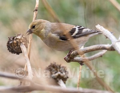 Goldfinch_eating_cone_flower-3982_January_11_2021_NAT_WHITE