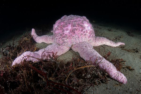 Pink Short Spined Star, Pisaster brevispinus.  A distinctive, large sea star that is usually found on bottom substrate.