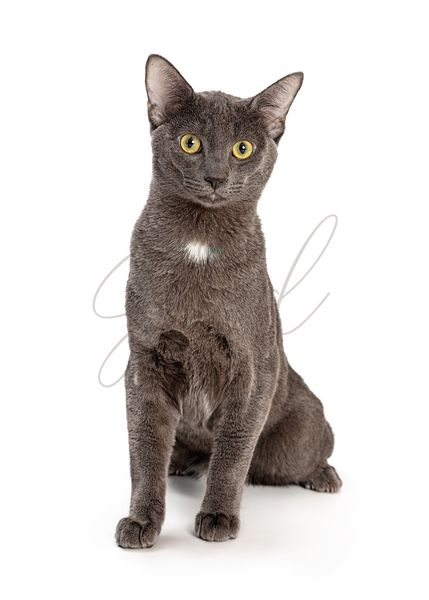 Pretty Grey Kitty Sitting on White