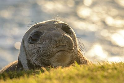 Elephant Seal pup, Mirounga angustirostris, at Race Rocks, Vancouver Island.