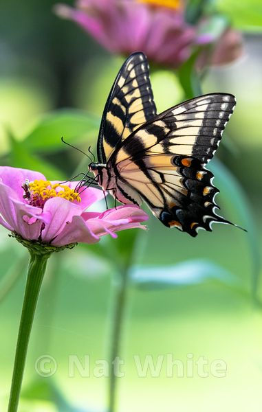 Swallowtail_Butterfly-Filename_number_suffix-_1August_19_2019_