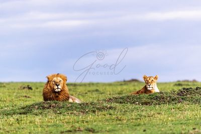 Male and Female Lions in Kenya Africa
