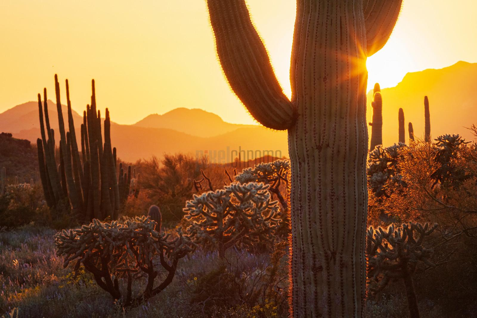 Organ Pipe Cactus at Sunset