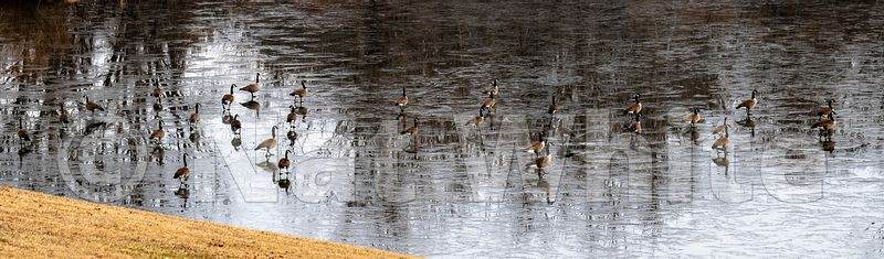 Geese_on_ice-December_27_2020_NAT_WHITE