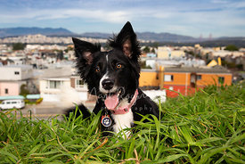 Smiling Border Collie on San Francisco Hill