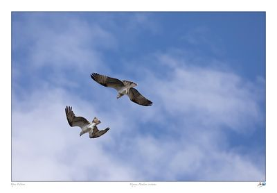 Two juvenile Ospreys play fighting in the sky