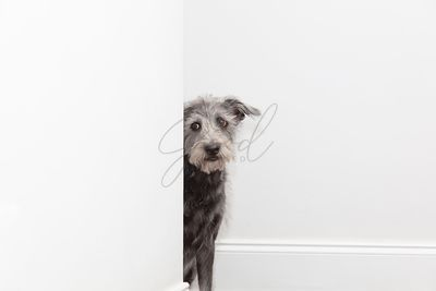 Shy Scared Dog Peeking Around Hallway Corner