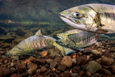 Chum salmon spawning sequence 1-06