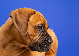 Bull Mastiff Puppy Looking Right on Blue