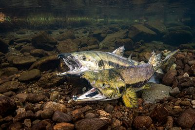 Chum salmon spawning sequence 1-10