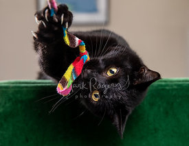 Black Cat Holding and Biting Toy