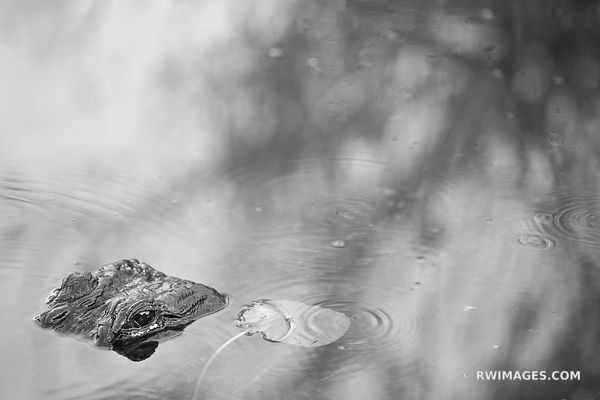 ALLIGATOR EVERGLADES NATIONAL PARK FLORIDA BLACK AND WHITE