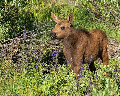 SJM18: Young Moose Calf Among the Flowers
