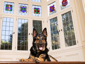 German Shepherd Lying Down Near Stained Glass