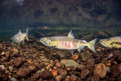 Chum Salmon in the Campbell River
