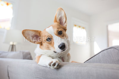 corgi lifestyle potrait indoors on couch