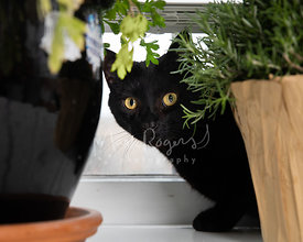 Black Cat Peering Out from Behind House Plant