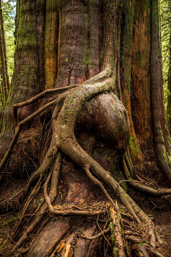 Roots growing over a burl on a Cedar.