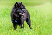 Black Swedish Lapphund Puppy Green Grass Profile Full Body