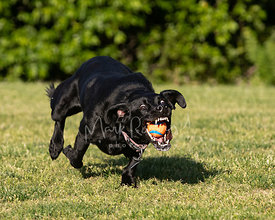 Black Labrador Catching Ball with Eyes Rolled back and Mouth Open