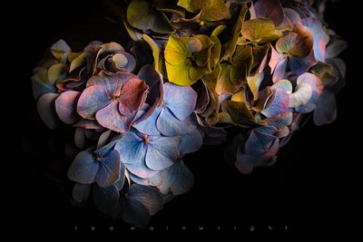 hydrangea on black