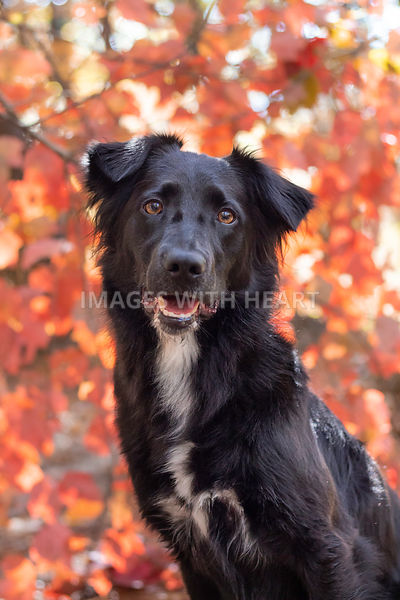 Close up of dog with fall leaves in background