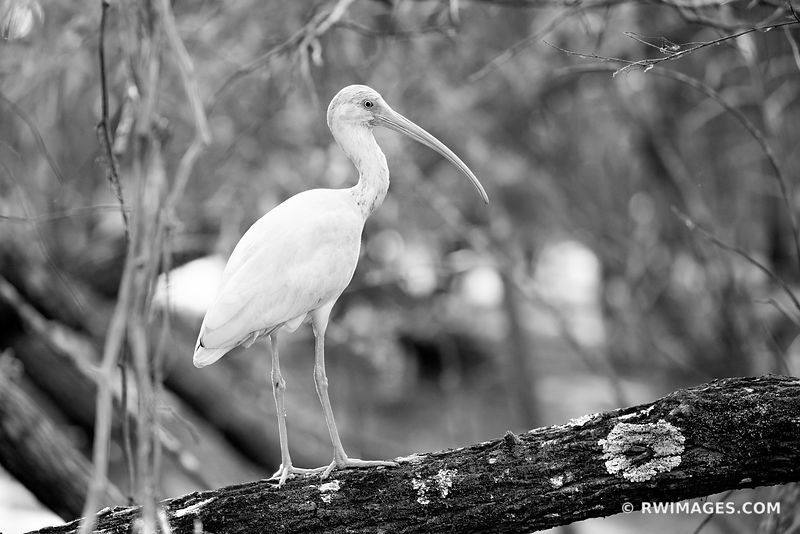 IBIS FAKAHATCHEE STRAND FLORIDA BLACK AND WHITE