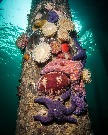 Amazing colourful sealife adorns the pilings of the Argonaut wharf. Ochre Stars, Painted Anemone and Giant Chiton.