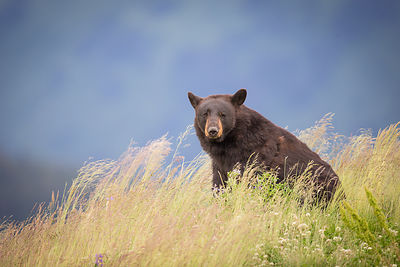 Bear in Tall Grass