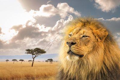 Proud African Lion Closeup With Kenya Background