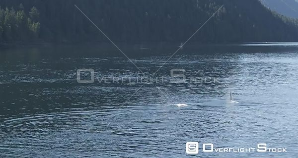 Central Coast, BC Canada. Great Bear Rainforest Fjords, Heiltsuk Nation, Bella Bella With Orcas Killer Whale Breaching