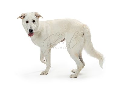 Large white pet dog walking isolated
