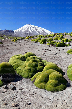 Yareta plants (Azorella compacta) and Nevados de Putre / Taapaca volcano, Lauca National Park, Region XV, Chile