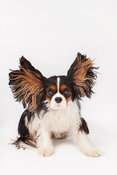 Small Dog in Studio on White with Ears Up