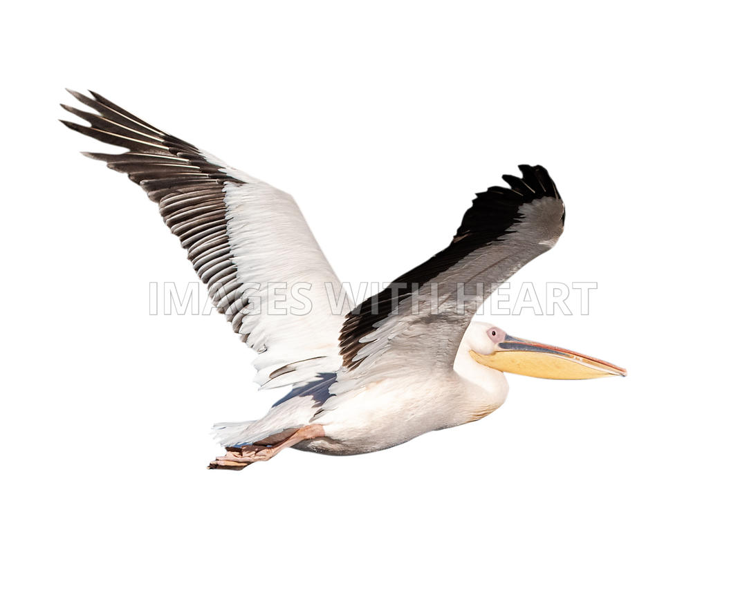 Pelican Bird in Flight Isolated
