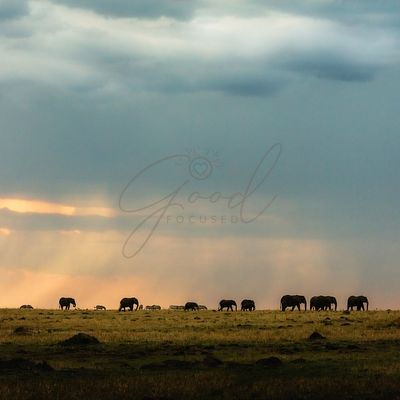 African Elephants Walking Along Horizon